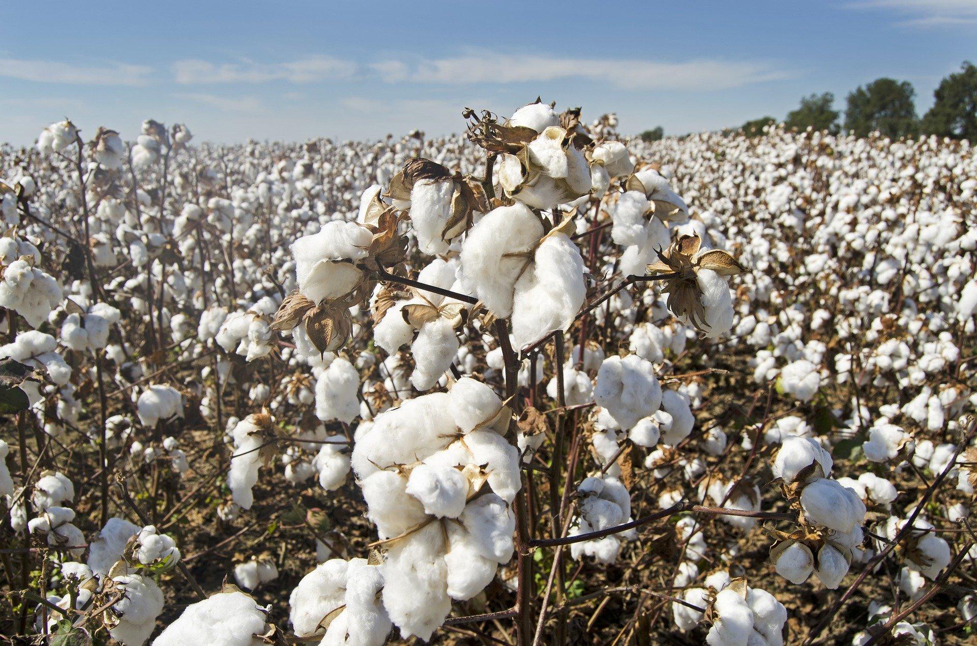 Baumwolle als Rohstoff
